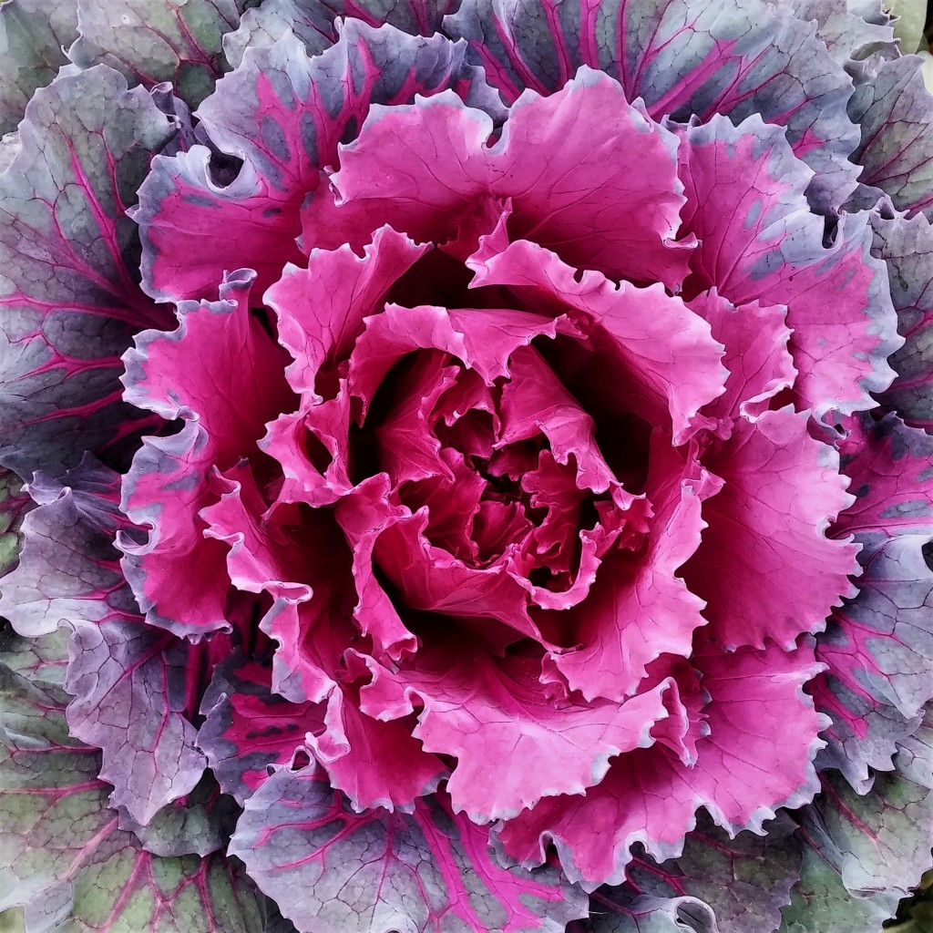 Welcome to my garden cabbage flower