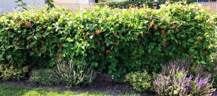 Welcome to my scarlet runner bean hedge