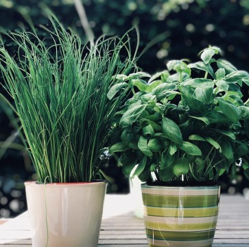 Bee chives & basil in pots