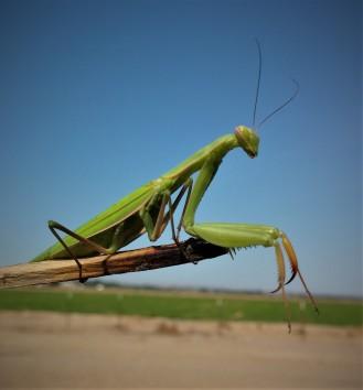 Bee praying mantis