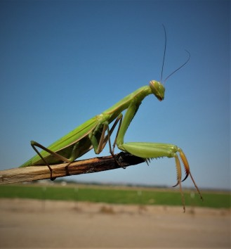Bee praying mantis