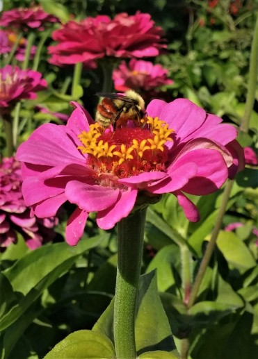 Bee zinnia bumble